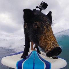 gopro-kama-the-surfing-pig